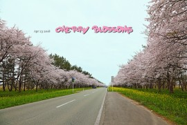 2018 4 23 Cherry Blossoms (平成30年4月25日 秋田県 大潟村 菜の花ロード)